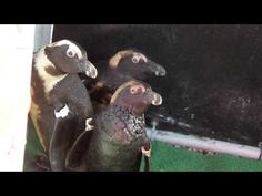 Oiled African penguins and their chicks admitted to SANCCOB Eastern Cape - YouTube