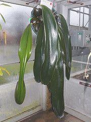 The BIG  Bulbophyllum spiesii