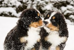 Bernese Mountain puppies playing in the snow The Pet's Planet