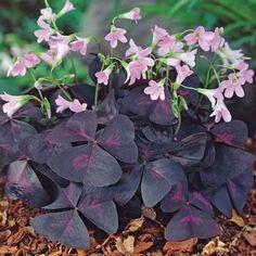Purple Shamrock