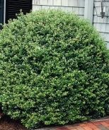 Bennett's Compact Holly (Ilex crenata 'Bennett's Compacta') - Monrovia - Bennett's Compact Holly (Ilex crenata 'Bennett's Compacta')