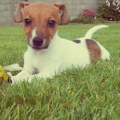 Georgie ♥ Georgie, Labrador Retriever, Pitbulls, Dogs, Animals, Animales, Labrador Retrievers, Animaux, Doggies