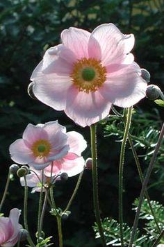 Höstanemon Anemone hupehensis
