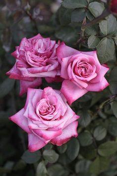 Rosen in Rosa / Roses in Pink