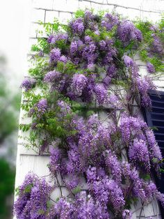 """Makes me think of Enchanted April...""""For those who like wisteria and sunshine"""""""