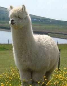 Alle Tiere - alpaca - - My list of the most beautiful animals Fluffy Cows, Fluffy Animals, Animals And Pets, Animals Planet, Wild Animals, Farm Animals, Amazing Animals, Animals Beautiful, Alpacas