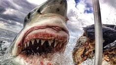 A potential megashark sighting has Discovery Channel ready to hunt for great white sharks in New Zealand, in hopes of finding an apex predator bigger than Shark Week's submarine. The Great White, Great White Shark, Shark Week, Orcas, Close Up Photos, Cool Photos, Amazing Pictures, Imagen Natural, Shark Cage