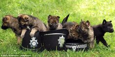 When we grrrrrow up we want to be police dogs: The German Shepherd pups set to be the next generation of canine crime-fighters