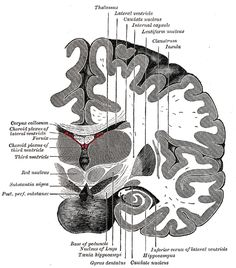 Gray717 - Red nucleus - Wikipedia, the free encyclopedia