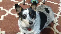 Charlie our cowboy corgi! Cowboy Corgi, Dogs, Animals, Animales, Animaux, Pet Dogs, Doggies, Animal, Animais