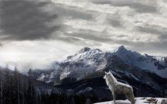 Wolf 1920x1200 Wallpaper - Desktop Wallpapers HD Free Backgrounds