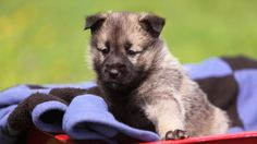 Norwegian Elkhound | WOOFipedia, provided by the American Kennel Club