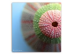Urchin Photograph Art Print...Affordable Home by machelspencePHOTO, $6.99