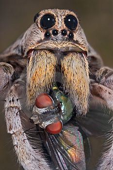 "Wolf Spider: ""Excuse me, do you have any salt?"""