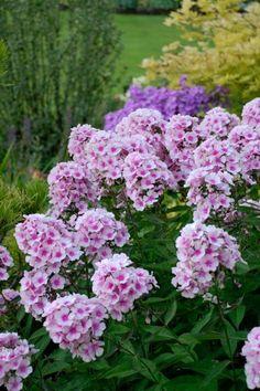 16 Low-Maintenance Perennials 'Bright Eyes' Garden Phlox (Phlox paniculata 'Bright Eyes')