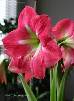 View picture of Amaryllis 'Pink Diamond' (Hippeastrum) at Dave's Garden.  All pictures are contributed by our community.