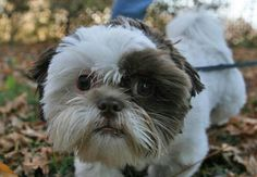 Maxie the Shih Tzu