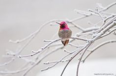 Anna's Hummingbirds of western North America are wintering farther north too, by Maggie MacDonald - FeederWatch