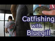 Fishing for catfish with live and cut bluegill. A couple tips when catfishing with Bluegill: Fish on the bottom Cut and live bluegill work equally well. Catfish Fishing, Crappie Fishing, How To Catch Catfish, Best Fishing Boats, Fishing For Beginners, Fishing Gifts, Safety Tips, Bait, Have Fun