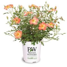 Proven Winners Oso Easy Paprika ColorChoice Rosa 1 gal. Landscape Rose Shrub-ROSPRC1026101 at The Home Depot
