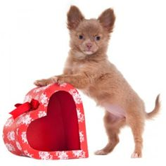 Show Your Dog the Love This Valentine's Day - Dog Pet Care Corner - PetSolutions Valentines Day Cat, Be My Valentine, Tiny Puppies, Cute Puppies, Pet Dogs, Pets, Romantic Gifts, Puppy Pictures, Dog Mom