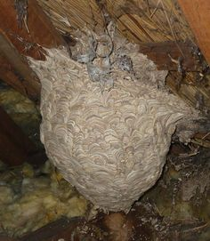 A large, deserted wasp nest in a roof cavity
