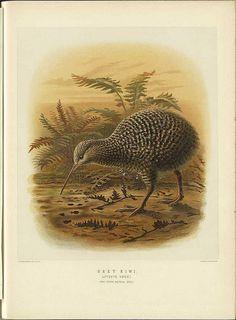 Naturalist Zoology New Zealand Grey Kiwi  From BibliOdyssey