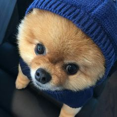 jiffpom on Insta Pomeranian Puppy, Pet Puppy, Dog Cat, Cute Baby Animals, Animals And Pets, Funny Animals, Cute Dogs And Puppies, I Love Dogs, Doggies