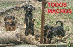 """""""O GRITO DO BICHO"""": URGENTE: Protetora no Rio morre deixa 32 cães órfãos em Jacarepaguá! Alguém pode adotar ou dar LT? Contato: fatimario@hotmail.com"""