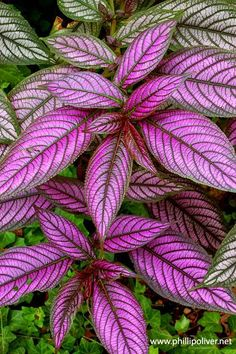 Persian Shield. I always liked this plant for it's iridescent leaves,