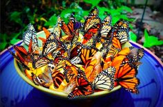 This is a great idea for a butterfly feeder. Place a bowl with fruit inside a bird bath. Be sure there is water in the bird bath to keep the ants away.