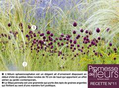 Recette de jardin N°11 - 1) L'Allium sphaerocephalon est un élégant ail d'ornement disposant en début d'été de petites têtes rondes de 70 cm de haut qui apportent un effet aérien au jardin contemporain,  2) Le Stipa pennata est une graminée qui porte des épis de graines argentés qui flottent au vent d'une manière fort poétique.