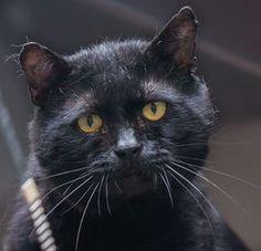 Boris is an adoptable Domestic Short Hair-Black Cat in Port Angeles, WA. To say that Boris loves having his cheeks rubbed is an understatement.  In fact, he never tires of it; come give it a try.  B...
