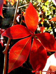 Winobluszcz pięciolistkowy (Parthenocissus quinquefolia) czerwony 2