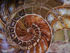 Ammonite- a fossilized animal