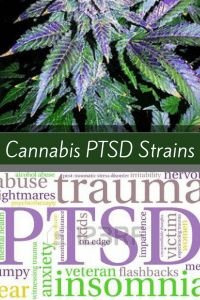 The best Cannabis strains for PTSD will drastically decrease anxiety while leaving patients feeling more level headed, happy and relaxed. Cannabis Cultivation, Cannabis Edibles, Cannabis Plant, Medical Benefits Of Cannabis, Medical Marijuana, Marijuana Recipes, Weed Strains, Gardens, Santa Cruz