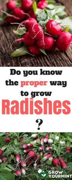 How-to-grow-radishes-1
