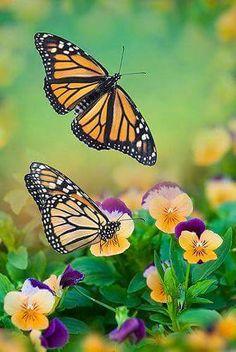 Monarchs on pansies