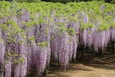 Image result for japanese wisteria