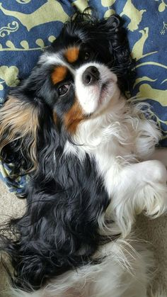 Are you looking for the best Cavalier King Charles Spaniel dog names? 30 Best Dog Names For Cute Cavalier King Charles Spaniels [PICTURES Source by dogtime Cavalier King Spaniel, Cavalier King Charles Dog, Cocker Spaniel Puppies, Spaniel Dog, Puppies Puppies, Spaniels, Roi Charles, Best Dog Names, Tier Fotos
