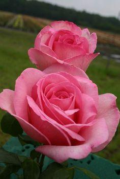 'Sweet Parole' | Hybrid Tea rose #Hybridtearoses Beautiful Rose Flowers, Pretty Roses, Love Rose, Flowers Nature, Amazing Flowers, Beautiful Flowers, Pink Roses, Pink Flowers, Exotic Flowers