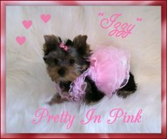 Image detail for -Glenda's Lovely Yorkies pet classifieds dog breeder puppies for sale
