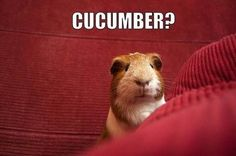 Cucumber? Says the cute Guinea Pig