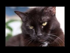 This audio track is dedicated to my son and his happy female cat, Siiri. Siiri, une chatte heureuse qui ronronne doucement – Sons réconfortants pour s'endormir …