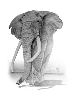 beautiful drawing of an walking elephant