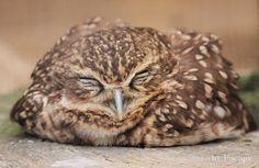 眠るフクロウ - Google 検索
