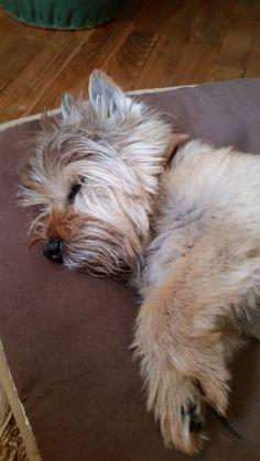 sleepy baby Cairn terrier