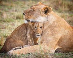 """1,802 Likes LJ (@bella_londres) on Instagram: """"The perfect headrest! Summer and Little Princess of the Topi Pride."""" #Bigcats #lion #Africa"""