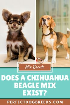You've probably read about many Chihuahua Mix breeds (if you haven't, go on to our page!), you might not have heard of the Chihuahua Beagle Mix, or the Cheagle. A highly devoted family dog, he might not be for every type of dog owner.  #chihuahuabeaglemix #chihuahuamix #cheagle