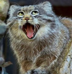 Another Pallas Cat silly expression. The looks they get on their faces crack me up!